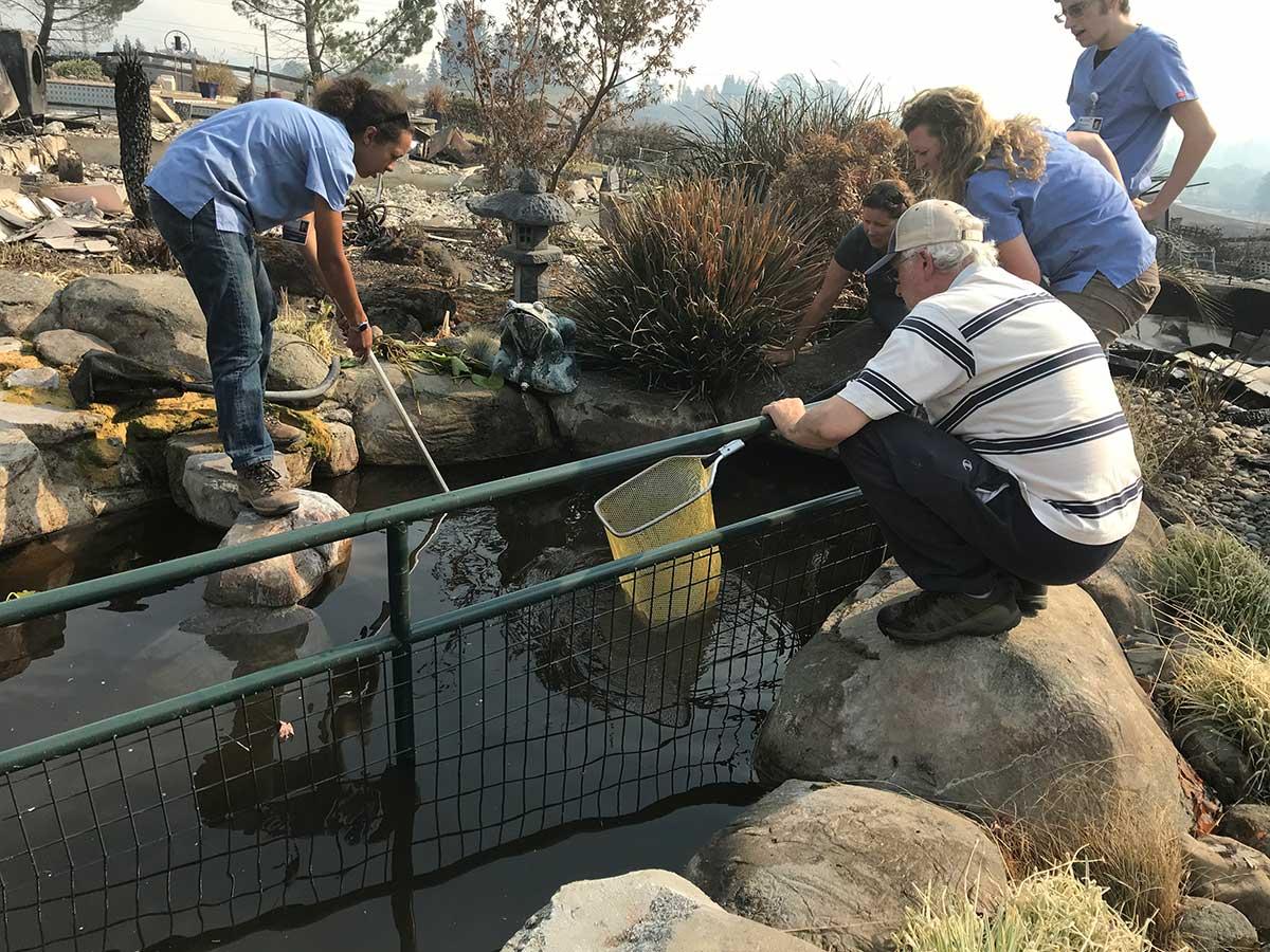 UC Davis rescuers go fishing for koi