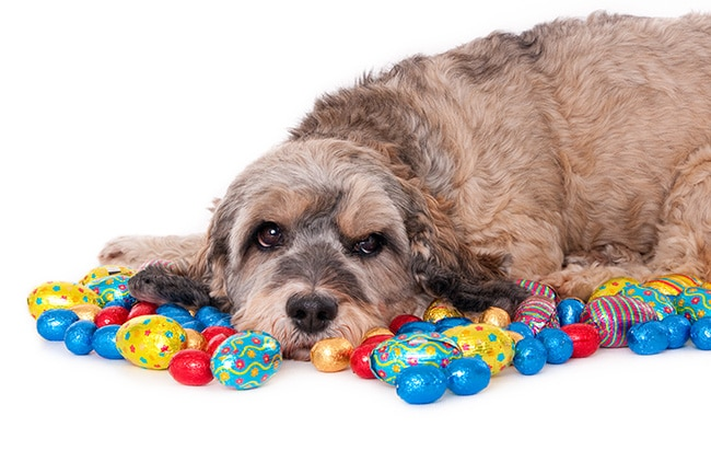 62% of vets saw chocolate cases last Easter