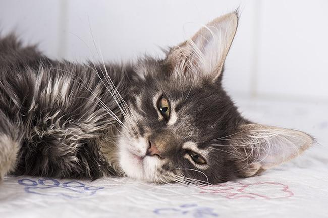 New KindredBio drug manages feline weight loss