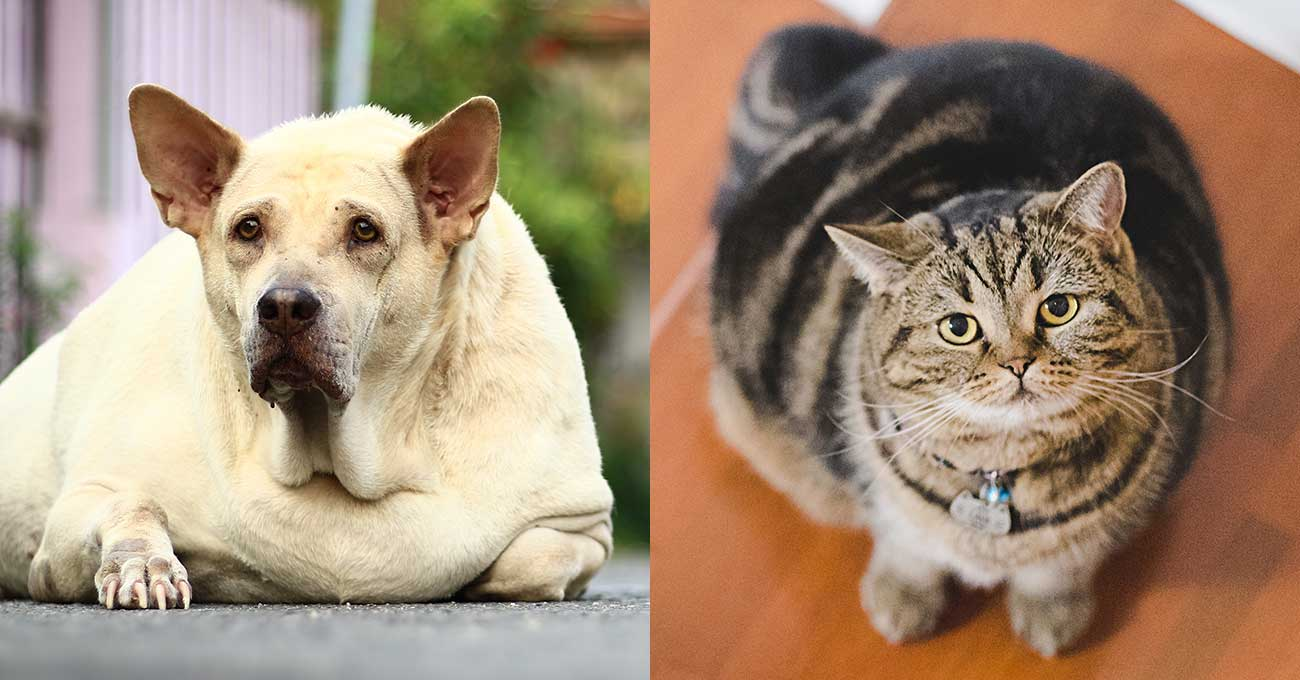 Survey: Pet owners want more pet weight advice