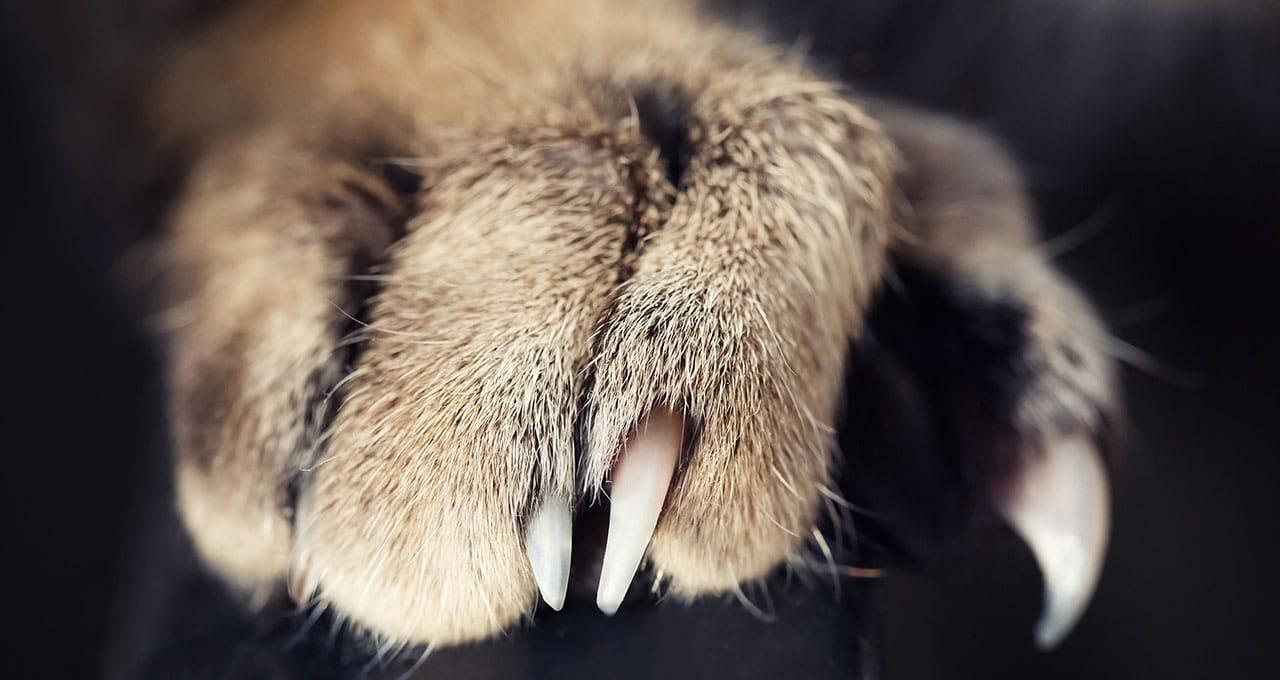 cat claw