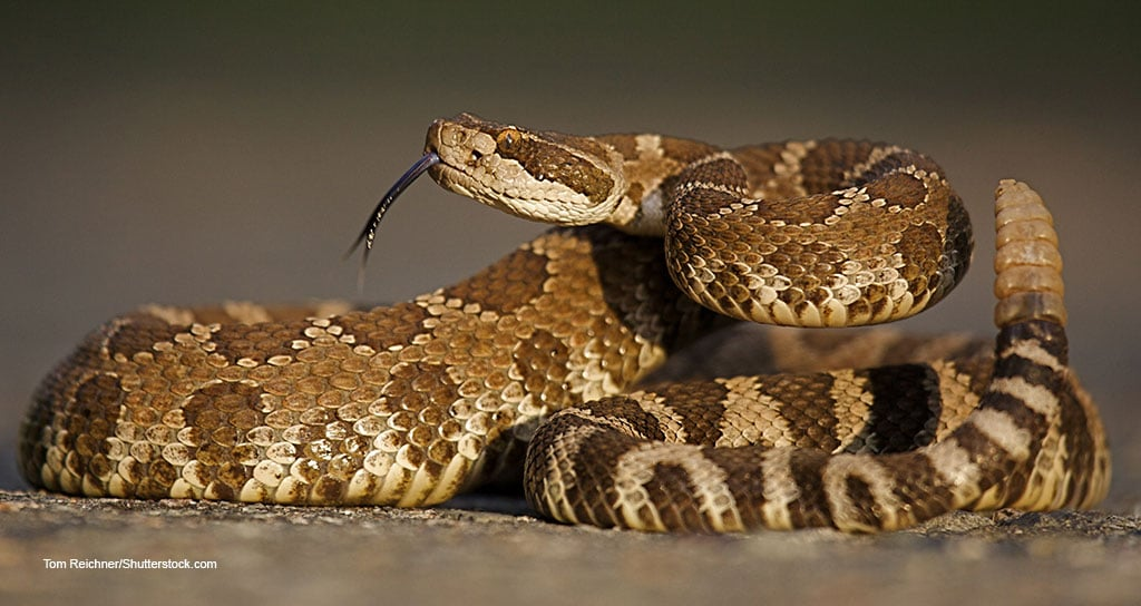 rattlesnake Brakke